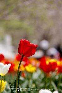 جشنواره گل لاله گچساران