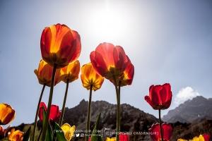 جشنواره های لاله های گچسر